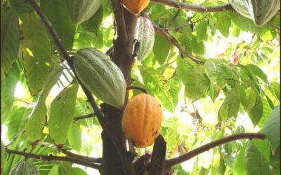 Cacao boter? Wat weet jij van de echte Cocoa Butter?