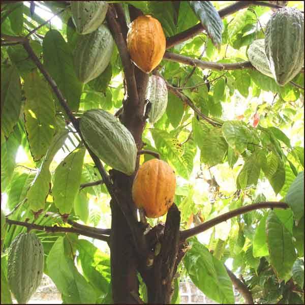 Cacaoboter? Wat weet jij van de echte Cocoa Butter?